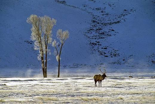 Lone Bull Elk by Philip Bobrow