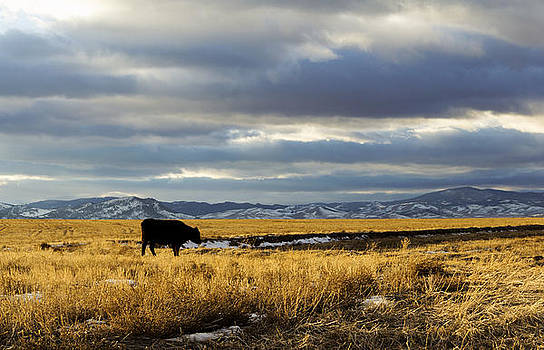 Lone Cow against a stormy Montana sky. by Dana Moyer