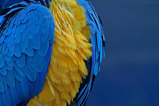 Macaw Blue Yellow Blue by Colleen Renshaw