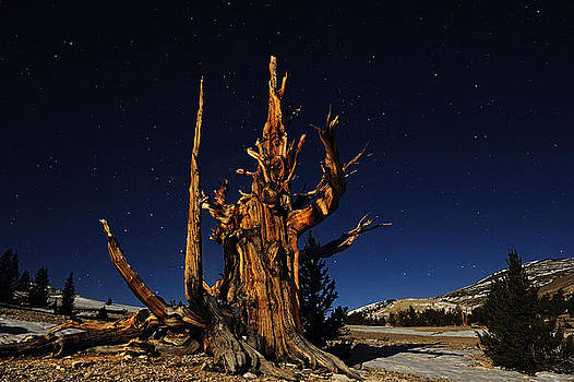 Majestic Bristle Cone Pine In The White Mountains of California by Kriss Russell