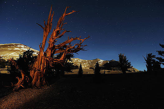Majestic Bristle Cone Pines in the White Mountains of California by Kriss Russell