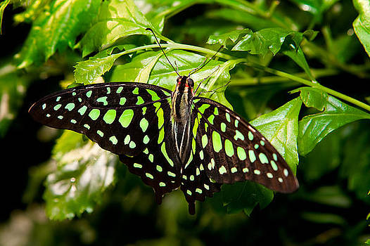 Malachite Butterfly by James O Thompson
