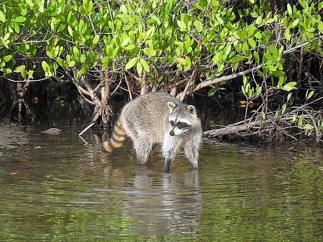 Mangrove Coon by Bob Jackson