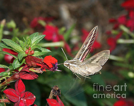 Mock Humming Bird Moth by Kathy DesJardins