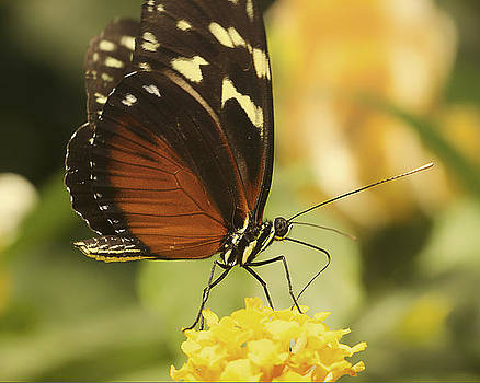 Monarch Butterfly on Yellow Flower by Julie Underwood