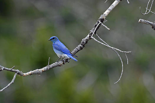 Mountain Bluebird in Yellowstone National Park by Bruce Gourley