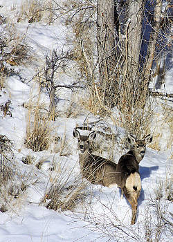Mule Deer in the Canyon by Marta Alfred