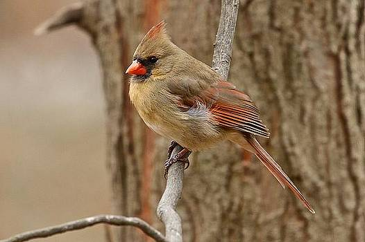 Northern Cardinal Female by Dan Ferrin
