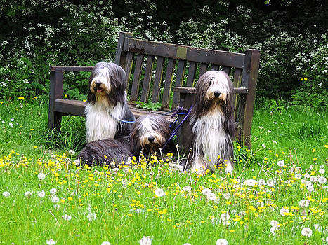 Old English Sheepdogs by Marilyn Holkham