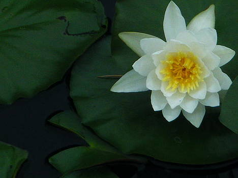 Open Lily by Amanda Bobb