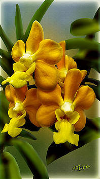Orange Buttercup Orchid by Roy Foos