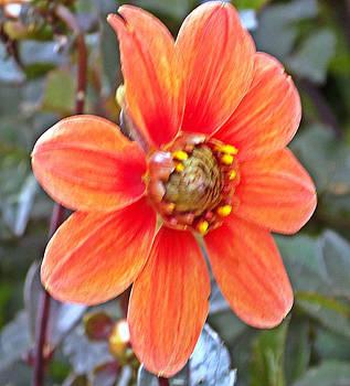 Orange Dahlia by Regina McLeroy