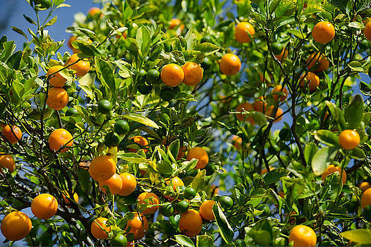 Orange Tree by Renee Barnes