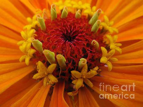 Orange Zinnia. Up Close And Personal by Ausra Huntington nee Paulauskaite