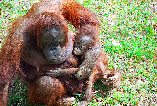 Orangutang mother and baby by Cheryl Casey