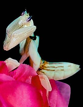 Orchid Female Mantis  hymenopus coronatus  1 of 10 by Leslie Crotty