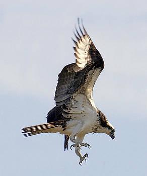 Osprey on Fripp Island by Bill LITTELL