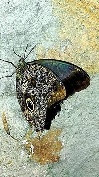 Owl Butterfly 1 by Shaloo Webster