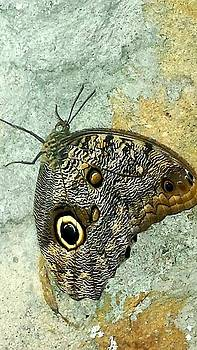 Owl Butterfly by Shaloo Webster
