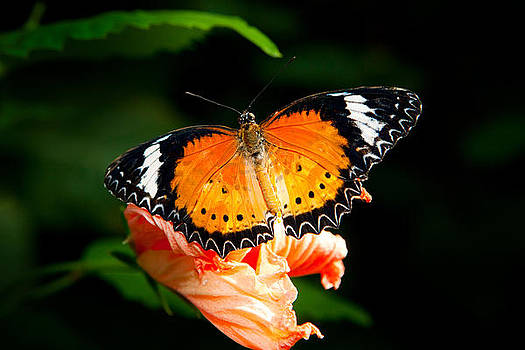 Painted Lady Butterfly by James O Thompson
