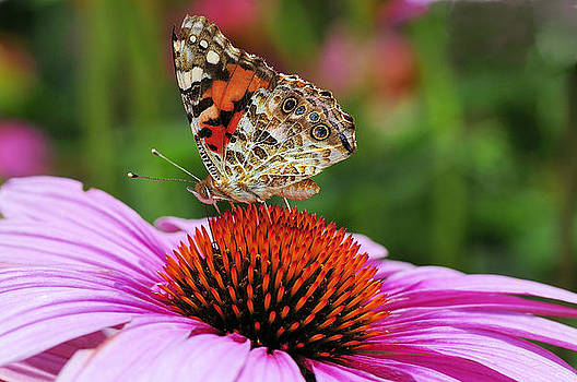 Painted Lady enjoying a Cone flower by Steve Barge