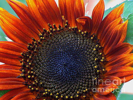 Painted Sunflower by Laurie Wilcox
