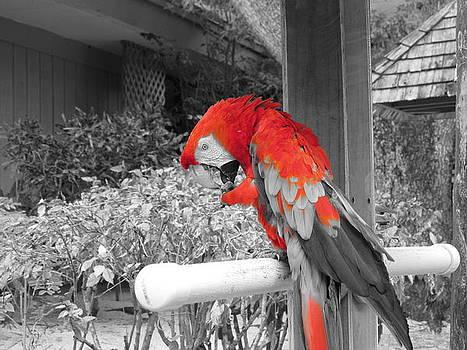 Parrot I by Francesco Plazza