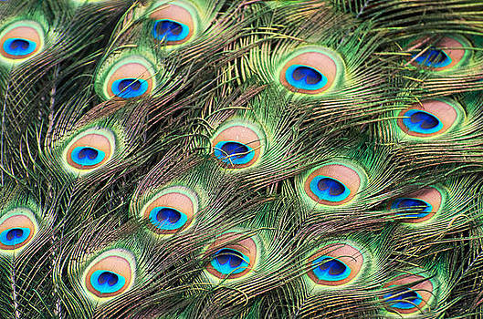 Peacock colors by Cheryl Cencich