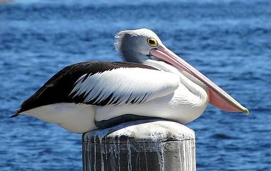 Pelican by Elizabeth Hardie