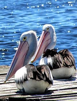 Pelicans by Elizabeth Hardie