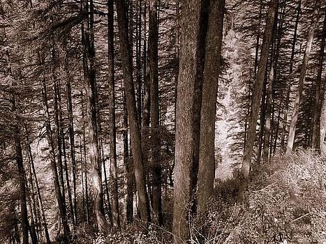 Pine Trees by Salman Ravish