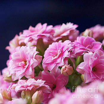 Pink and Blue III by Pamela Gail Torres