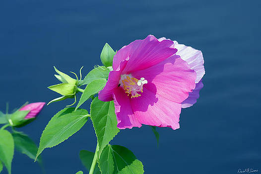 Pink Hibiscus by David Simons