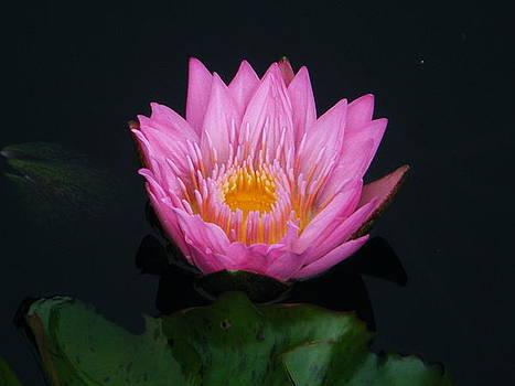 Pink Lily by Amanda Bobb