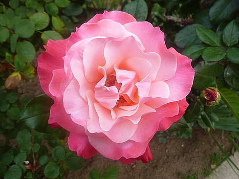Pink Rose by Montana Wilson