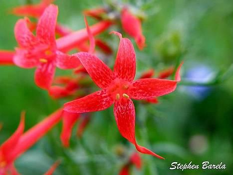 Pink Wildflower by Stephen Barela