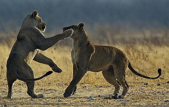 Playing Lionesses by Bruce Colin