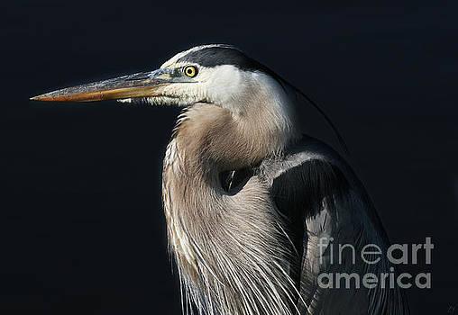 Portrait of a Great Blue Heron by Lynn Jackson