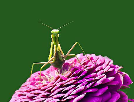 Praying Mantis by David Simons