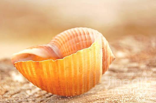 Pretty Seashell by Cheryl Casey