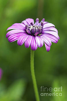 Purple Daisy by Pamela Gail Torres