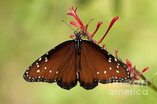 Queen Butterfly by Meg Rousher