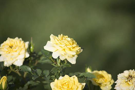 Raindrops on Roses by Teresa Wissen