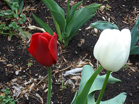 Red and White Tulips by Jessica Gale