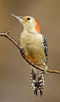 Red-bellied woodpecker by Bruce Colin