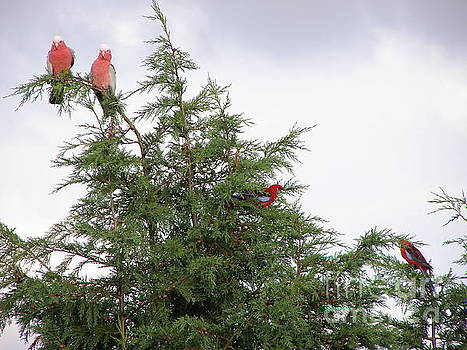 Red-Breasted Cockatoos and Crimson Rosellas by Bev Conover
