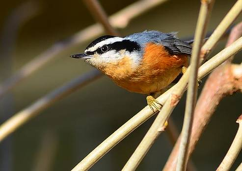 Red-Breasted Nuthatch #1 by Don Herd