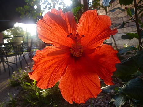 Red Hibiscus by Montana Wilson