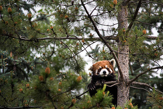 Red panda in a tree by Angela Boyko