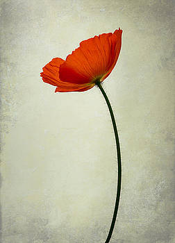 Red poppy by Lotte Funch